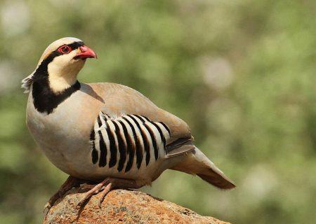 شکارچی دستگیر و پرندگان مکشوفه به اداره محیط زیست تحویل داده شدند